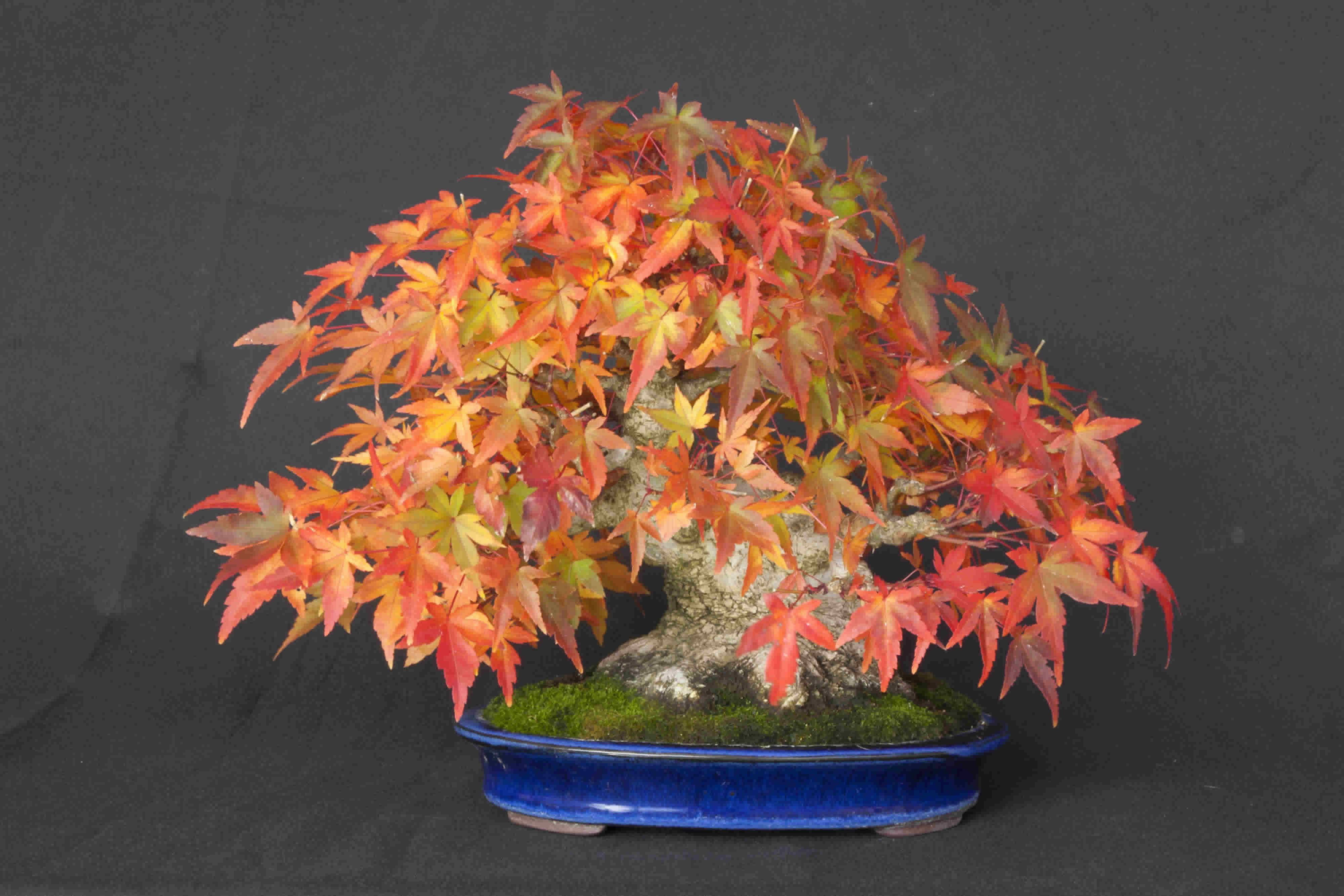 shohin acer palmatum japanischer f cherahorn. Black Bedroom Furniture Sets. Home Design Ideas